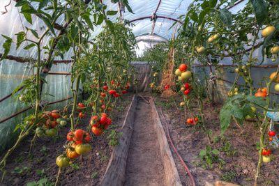 Viele Tomaten in einem Gewächshaus aus Folie
