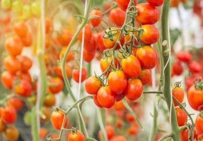 Tomaten an einer Pflanze